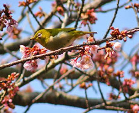 熱海梅園の梅の木にメジロ